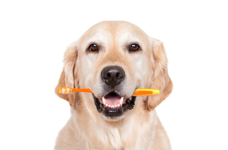 retriever dog with toothbrush in mouth